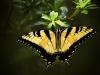5startigerswallowtail2websi