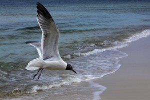 laughinggull1websized
