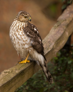 Coopers Hawk immature