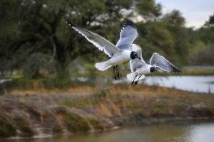 Laughing Gulls at Langan Park