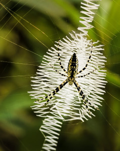 Argiope female