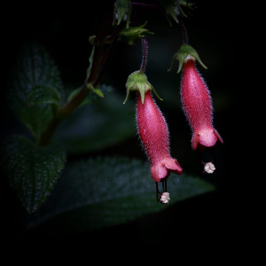 Focus Stacked Gloxinia