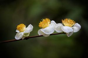 Tea Camellias
