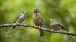 """Our Mom's the Best"" (weaver finches)"