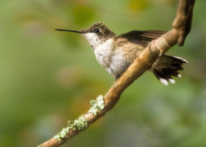 Ruby-throated Male