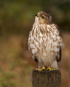 Coopers Hawk immature