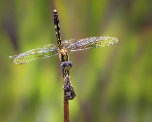 Slaty Skimmer female