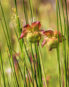 Flowers of the  Red Pitcher Plant