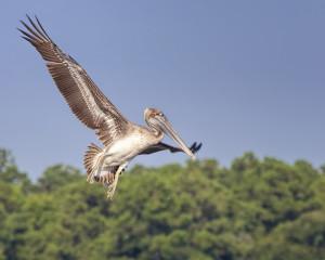Brown Pelican (juvenile)