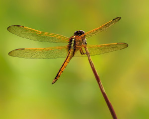 Needham's Skimmer female