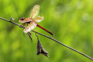 Needham's Skimmer male