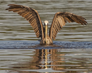 superpelicanonwaterwithwing