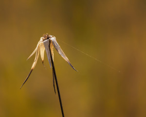 White-topped Sedge