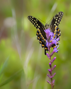 Black Swallowtail on Liatris