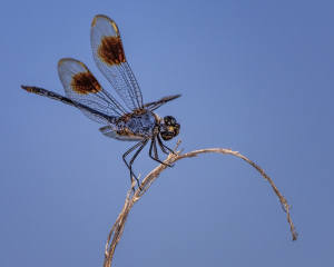 Four-spotted Pennant male