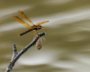 Eastern Amberwing male and dragonfly exudate
