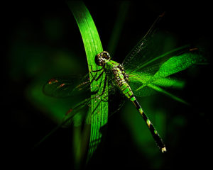 Pondhawk female